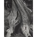 EDWARD WESTON - Cypress, Point Lobos - Original photogravure