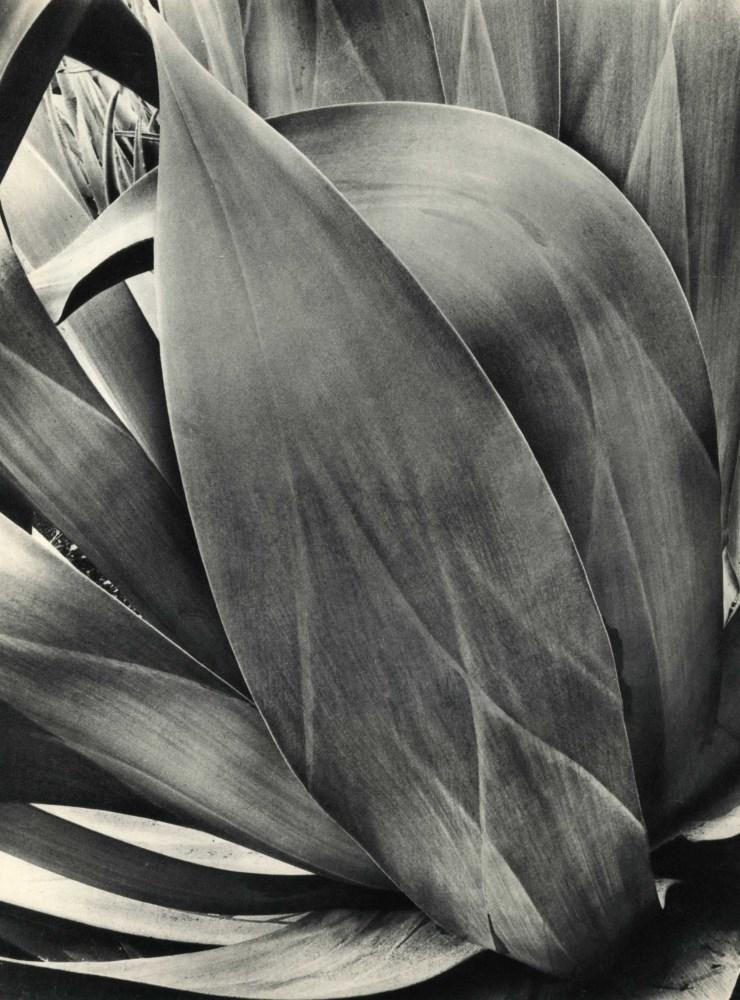 BRETT WESTON - Cactus - Original vintage photogravure
