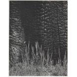 ANSEL ADAMS - Burnt Stump and New Grass, Sierra Nevada, California - Original photogravure