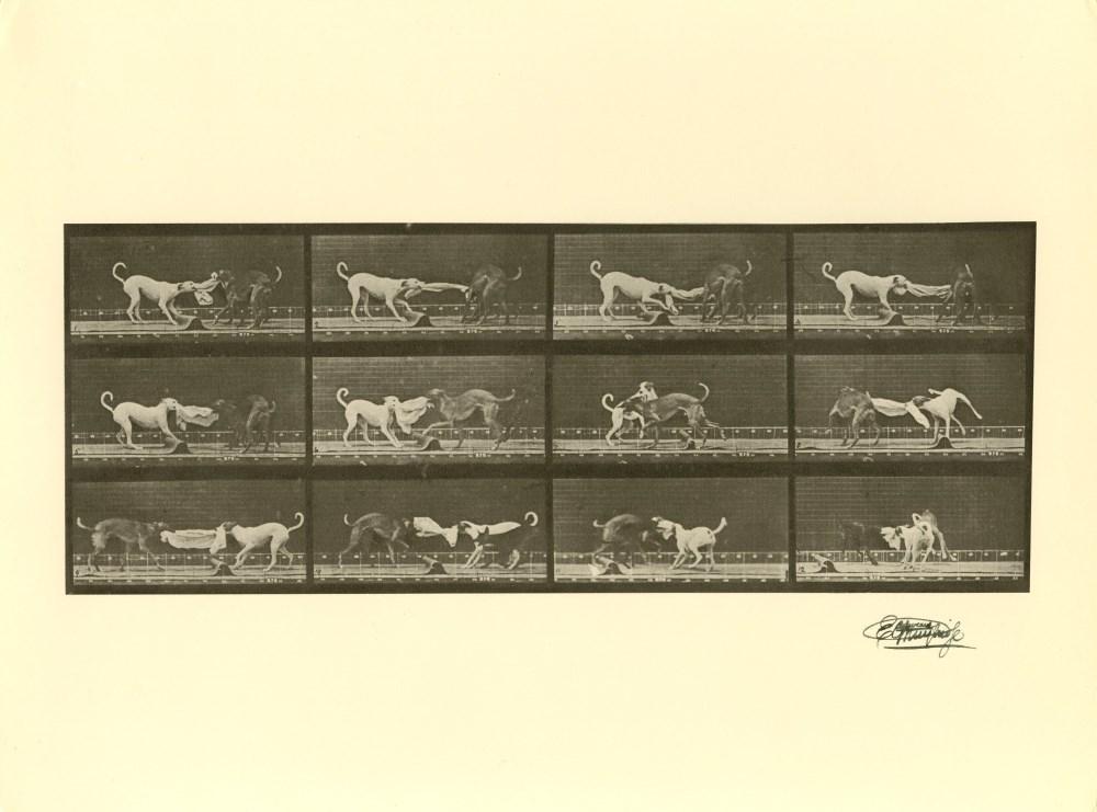 EADWEARD MUYBRIDGE [d'apres] - Dogs Fighting - Original photogravure