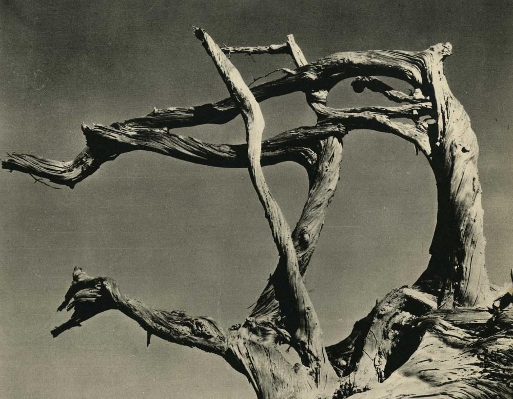 EDWARD WESTON - Cypress, Point Lobos, California - Original vintage photogravure