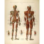 CONRAD DIEHL - Diehl's Anatomy for Artists and Students - Plate 4 - Original vintage chromolithog...