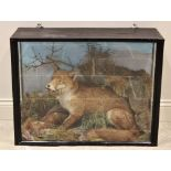 TAXIDERMY: A cased taxidermy fox in the manner of Thomas Richard Jefferies & Sons, set to a