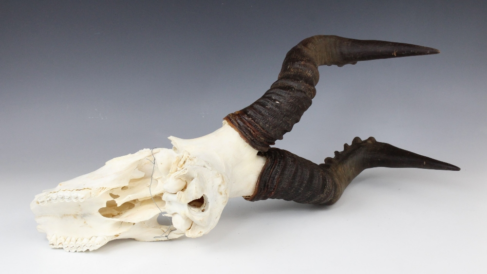 TAXIDERMY: A red hartebeast skull and horns, unmounted, 64cm long overall - Image 2 of 2