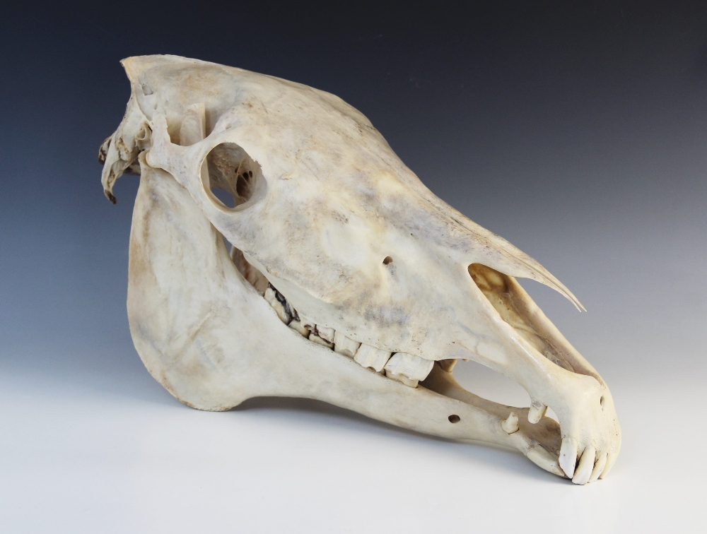 TAXIDERMY: A horse or zebra skull, 20th century, unmounted, 53cm long