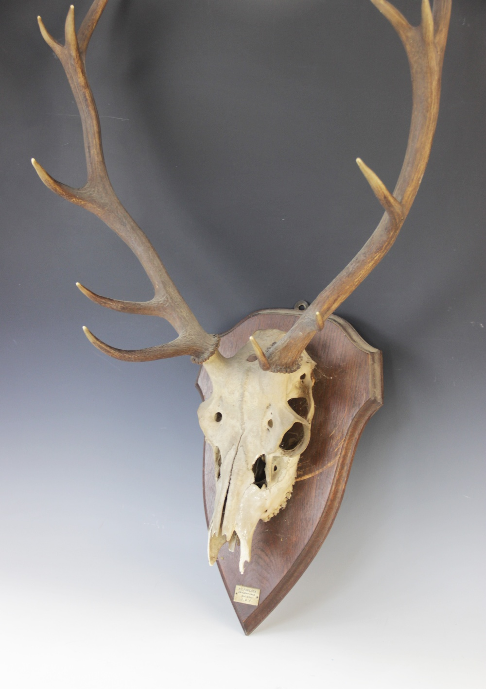 TAXIDERMY: A deer skull and antlers, 20th century, twelve point (six and six), set to a shield - Image 3 of 3