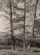 Albert Renger-Patzsch. Beech grove, Trees on a clearing. Circa 1957