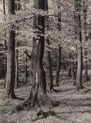 Albert Renger-Patzsch. Beech forest in Springtime. Circa 1957