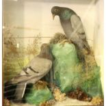 Victorian cased study of taxidermy pigeons in naturalistic setting, overall 44 x 18 x 51 cm H. Not
