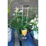 Rose in pot with small trellis