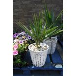 Planter containing Washington palm