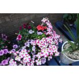 Large hanging basket incl. primula, fuchsias and other plants