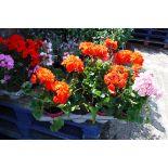 Tray of geraniums