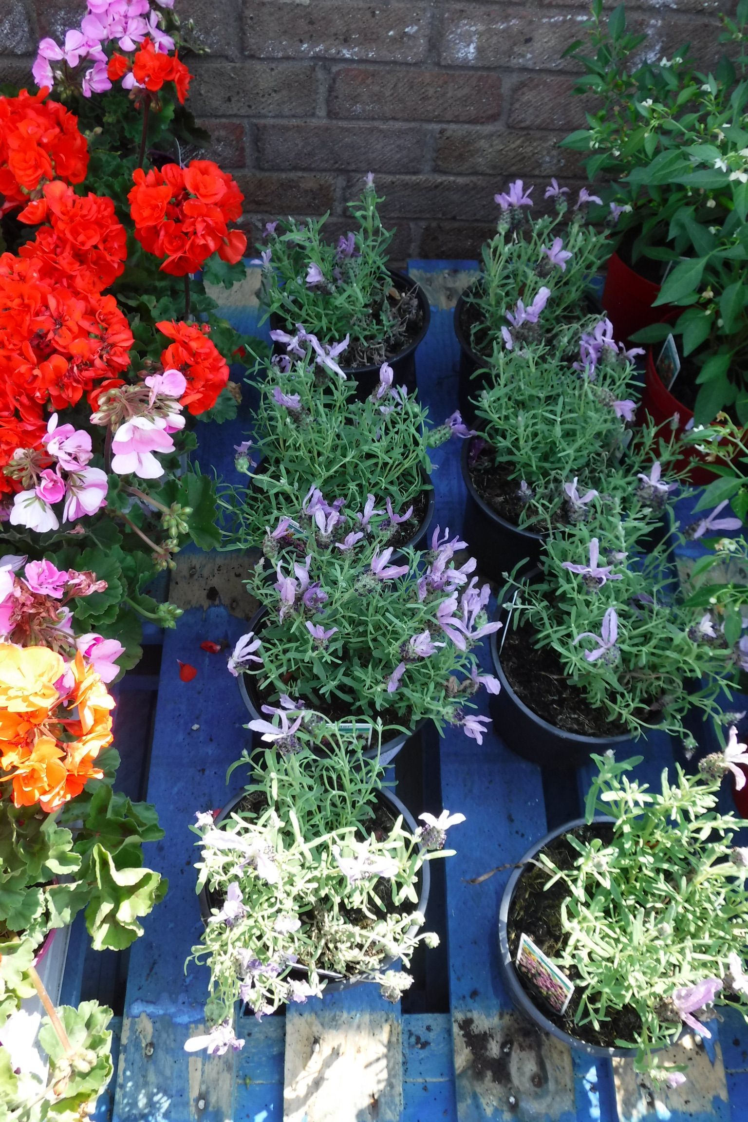 4 pots of French lavender