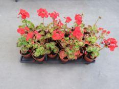 Tray of 18 geranium plants