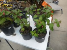 2 small potted fuchsias