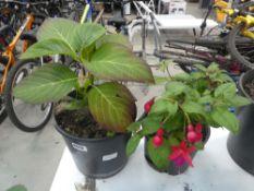 Small potted fuchsia and hydrangea
