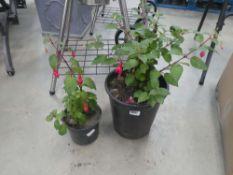 4134 Large potted fuchsia and small potted fuchsia