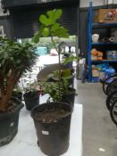 Large potted fig tree