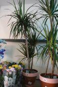 Marginata indoor palm