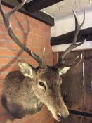 Antique excellent quality Taxidermy Stag's Head Winter coat