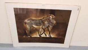 Zebra Grevys Print (600 X 800mm)