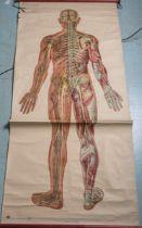 Anatomieplakat, menschliches Nervensystem