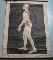 """Skelett-Tafeln der Wirbeltiere u. des Menschen, Nr. 7 """"Mensch / Homo sapience"""""""