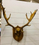 A Mounted set of antlers