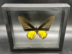 A framed synthetic golden Bird Wing butterfly