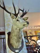 Taxidermy: A Mounted Stags Head