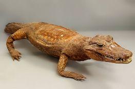 A Victorian Taxidermy crocodile