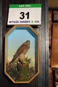 A Stuffed and mounted Kestrel in a Wall mounted Glass Fronted Case